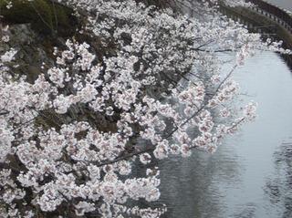 高島城桜.jpg